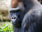 gorilla380