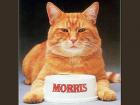 morris_the_cat