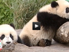 nowthisnews panda video