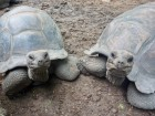 giant turtles shutterstock